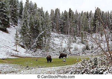 Bison in a Patch of Green