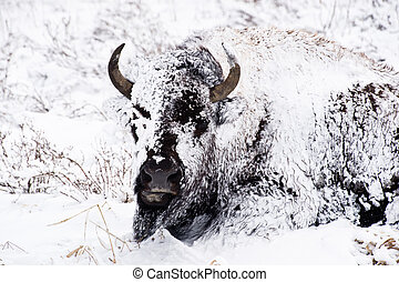 Bison in Blizzard - A stoic bison endures a winter blizzard ...