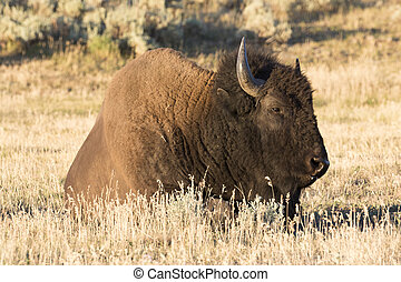 Bison in field of Hayden Valley of Yellowstone