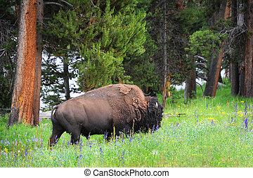 Bison in Field of Wildflowers