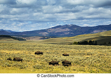 Bison in Hayden Flats, Yellowstone National Park, Wyoming