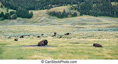 Bison in Lamar Valley at Yellowstone National Parky, Wyoming.