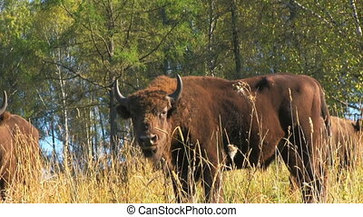 Bison in the forest
