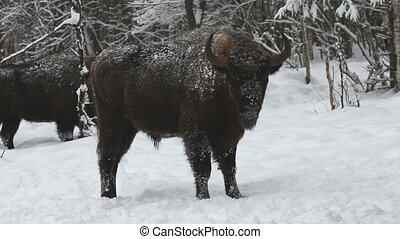 Bison in the winter