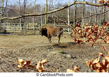 Bison in the Zoo on Sunny Autumn Day