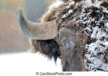 Bison in winter - Bison winter day in the snow
