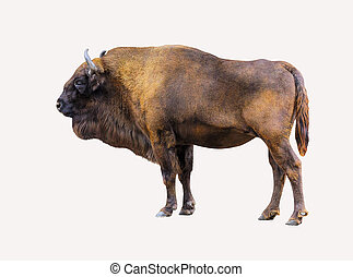 Bison isolated on white background.