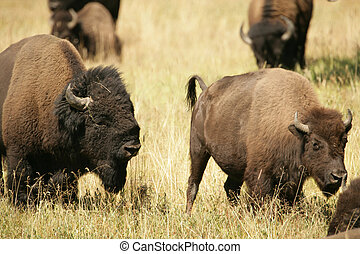 Bison Lovers Quarrel - Bison Lovers again in Yellowstone...