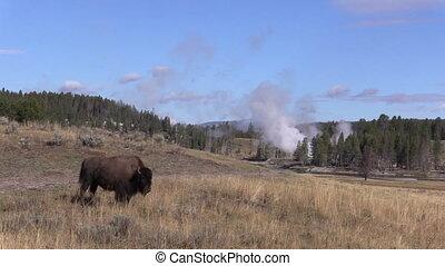 Bison Near Geysers