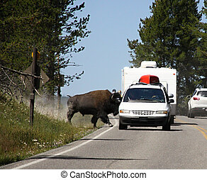 Bison on the route, Yellowstone national park