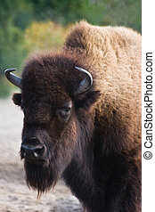 Bison or buffalo with thick brown fur - vertical image