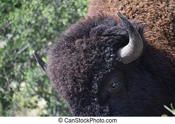 Bison Photography