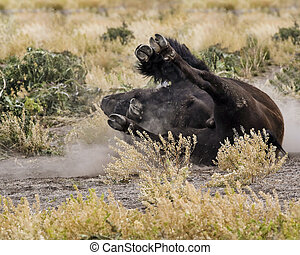 Bison rolling in the dirt Grand Teton National Park,...