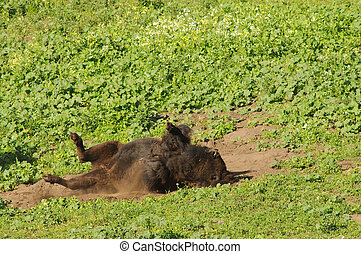 bison rolling in the dust