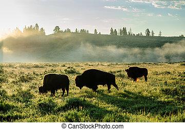 Bison Silhouttes at Dawn