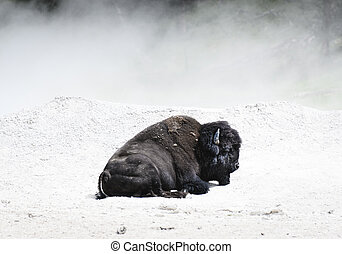 Bison Sleeps in The White Mud of Thermal Pots