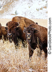 Bison standing in a field during fall, Grand Teton National Park, Wyoming