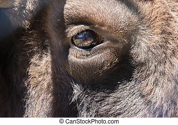 bison, the last representative of a wild bull living in a zoo, eye close-up