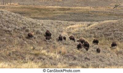 bison, troupeau