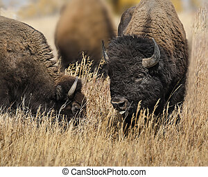 Bison two heads in grass