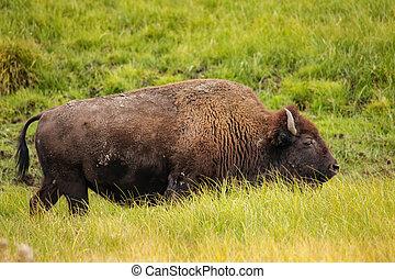 Bison walking in Yellowstone National Park, Wyoming