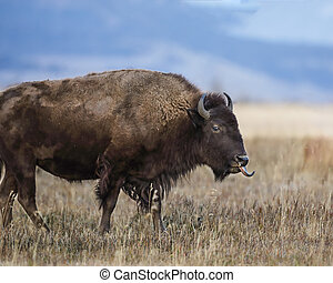 Bison walking with tongue sticking out Grand Teton National...