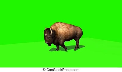 Bison walks with shadow - green screen