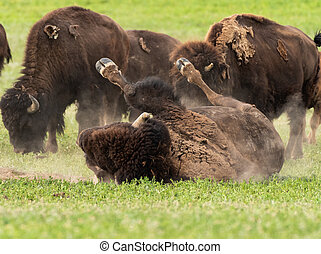 Bison Wallows in Dry Dirt Patch