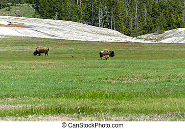 bison with calves in Yellowstone