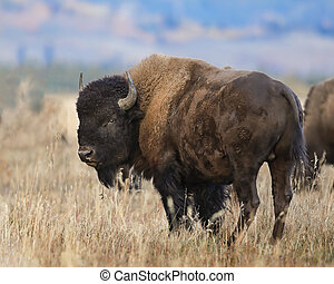 Bison with head turned toward camera Grand Teton National...