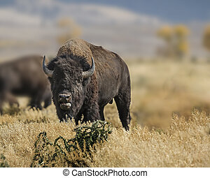 Bison with tongue out toward camera Grand Teton National...