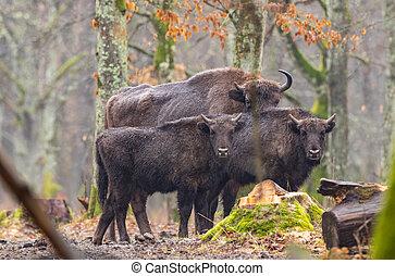 bison(bison, rebanho, europeu, bonasus)