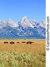 Bisons at Grand Teton National Park