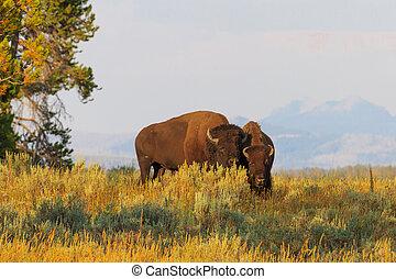 bisons, Búfalos,  Wyoming,  /, alto, parque,  Yellowstone, pasto o césped, nacional
