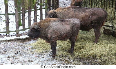 Bisons eat hay from a feeding trough during snowfall