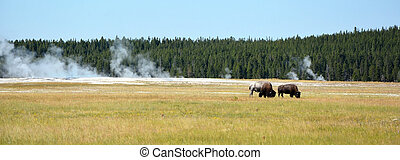 bisons, en, el, yellowstone national park
