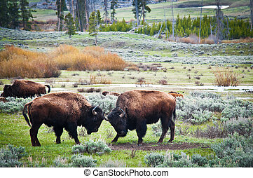 bisons, en, yellowstone