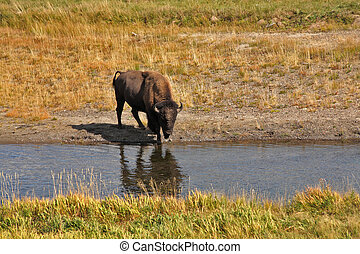 Bisons go on a watering place in Yellowstone