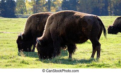 Bisons grazing