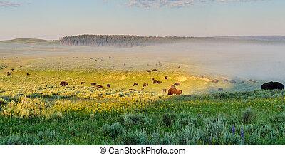 Bisons grazing in Hayden Valley