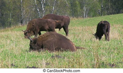 Bisons in the field