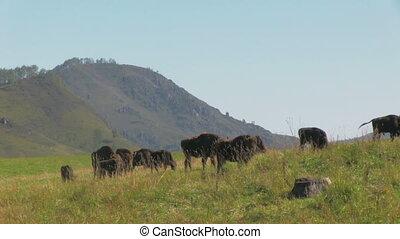 Bisons in the field - Herd of wild european bisons in the...