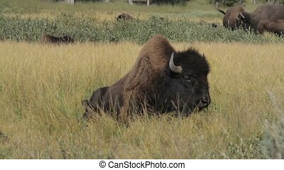 Bisons In Yellowstone National Park, United States
