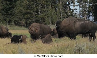 Bisons In Yellowstone National Park, United States - Native...