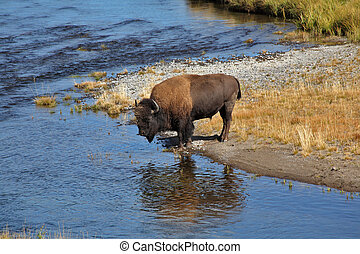bisons, ir, en, un, regar, lugar, en, yellowstone
