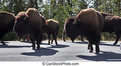 Bisons on highway in Yellowstone national park