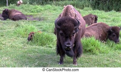 Young bison stands in front of the camera while others lay down on a hot summer afternoon.