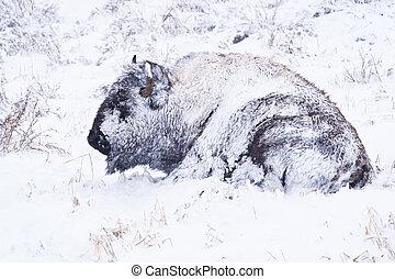 bisonte, blizzard