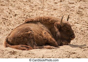 bisonte, bonasus