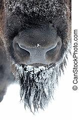 bisonte, em, inverno